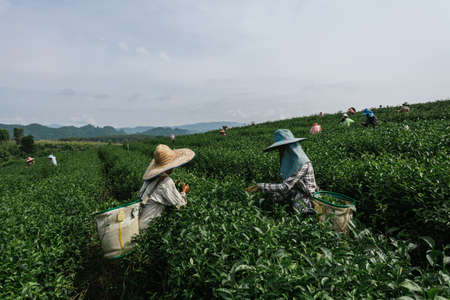 Asian group farmer working collecting tea leaves in the tea plantations 版權商用圖片