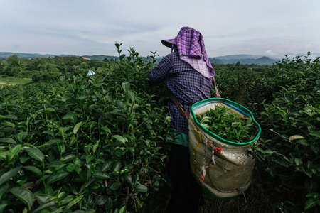 Asian farmer working collecting tea leaves in the tea plantations 版權商用圖片
