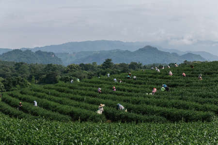 Asian group farmer working in the lush fields of a terraced farm.