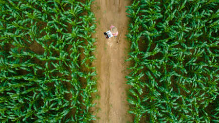 Aerial view of asian farmer standing in corn field with laptop in his hands and examining crop.