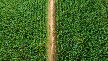 Aerial view of green field with growing corn and light of the sun