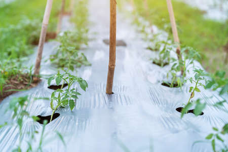 Growing tomato trees in Planting plot, Ground cover crop Foto de archivo