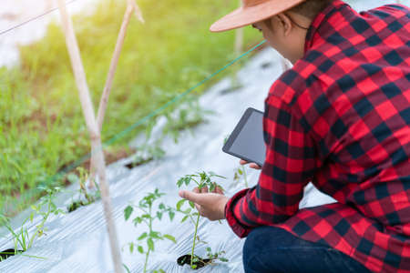 Close up hand of Asian young farmers is using the research tablet and studying the development of tomato varieties in the field. To increase the productivity. Agriculture technology concept. Foto de archivo