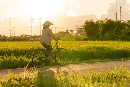 Vietnamese woman Farmer conical hat returned home by bicycle going for after work through the rice fields near sunset