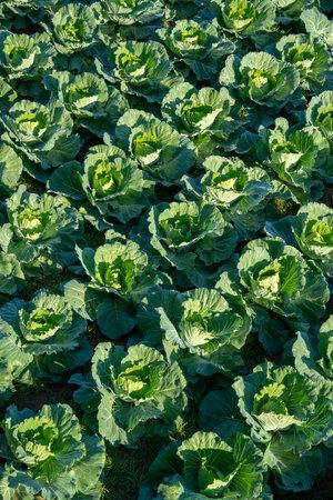 View of freshly organic cabbage in field 版權商用圖片