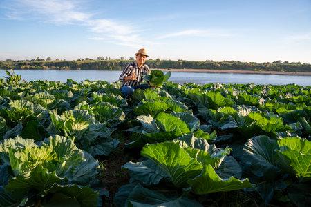 Happy asian farmer picking organic cabbage in field