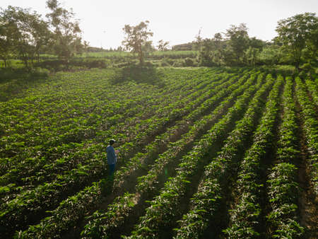 Top view of farmer in row of cassava tree in field. Growing cassava, young shoots growing. The cassava is the tropical food plant, it is a cash crop in Thailand. Stock Photo