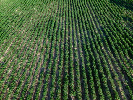 Top view of row of cassava tree in field. Growing cassava, young shoots growing. The cassava is the tropical food plant, it is a cash crop in Thailand.