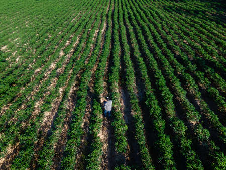 Aerial view of farmer in row of cassava tree in field. Growing cassava, young shoots growing. The cassava is the tropical food plant, it is a cash crop in Thailand.