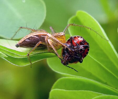 SPIDER WITH BIGH CATCH BY BEE OR FLY OR INSECT