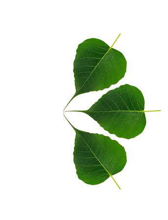 bo leaf on white background Stock Photo