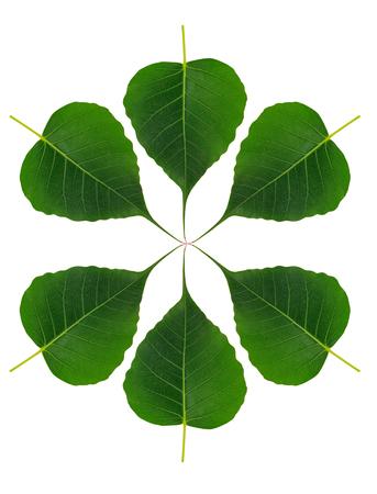 bo leaf on white background Stok Fotoğraf