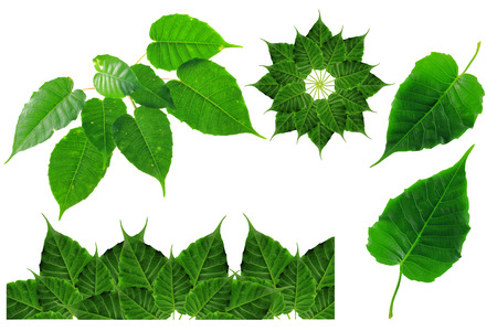 bo leaf groups on isolate and white background Stok Fotoğraf