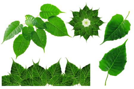 bo leaf on isolate and white background
