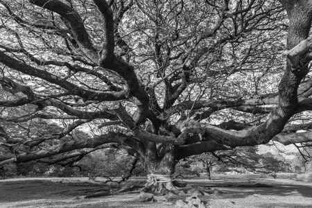 green and white: Black and white Giant tree