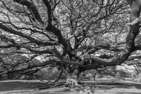 persone nere: In bianco e nero albero gigante