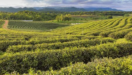 over hill: Green Tea plantation over hill, north of Thailand Stock Photo