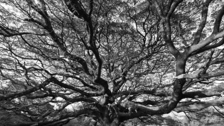Branch of a big tree in black-white mode