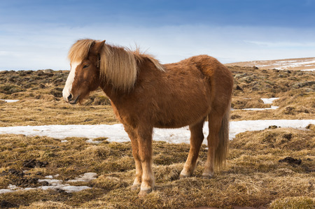 icelandic: Icelandic pony over dry grass, Iceland