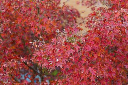 Red maple in autumn season, selective focus, natural background Foto de archivo
