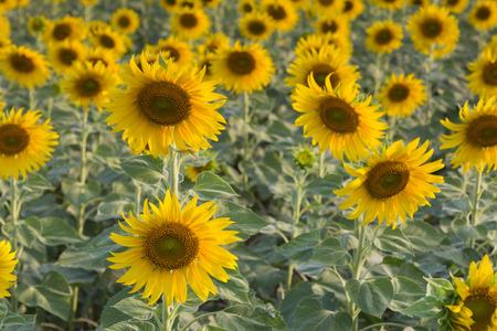Field of full bloom sunflower over the field