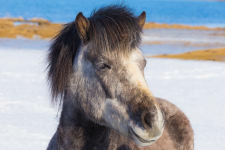 Icelandic horses over snow ground in winter season