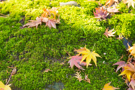 nautral: Fallen dry maple leaves on moss ground, nautral autumn season background