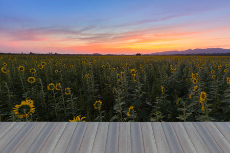 nautral: Opening wooden floor, Beauty sunset sky over Sunflower field, nautral landscape background Stock Photo