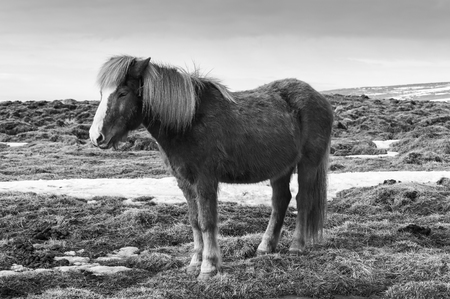 Black and White, Beauty of natural Icelandic Horses, Southern Iceland