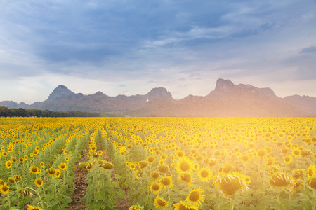 overcast: Sunset tone over big sunflower field with mountain natural landscape background