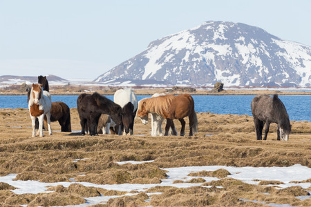 Icelandic horses with mountain background, farm animal in Iceland