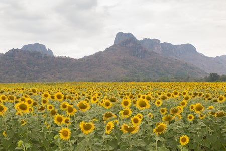 Beautiful full bloom sunflower field with mountain background, natural landscape background