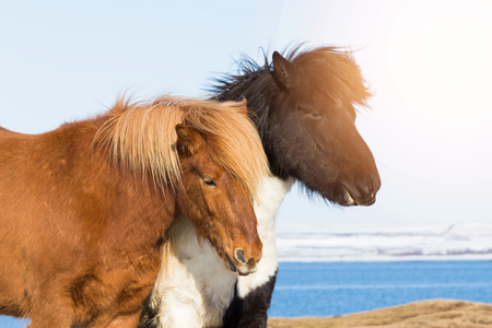 Icelandic pony, Iceland horses firm animal, wildlife animal Stock Photo