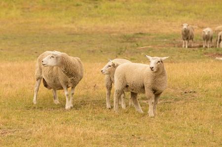 Farm sheep over grass field, wool animal farm natural landscape  Stock Photo