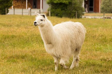 Farm animal Alpaca over green glass field