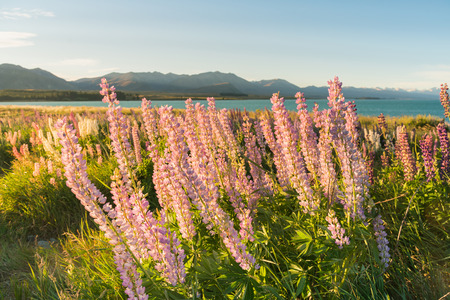 Pink lupin flower with mountain background, natural landscape New Zealand summer season Stock Photo