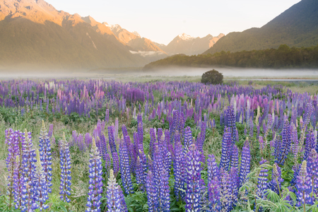 Full of purple lupine blossom with mountain background, New Zealand summer season natural landscape background