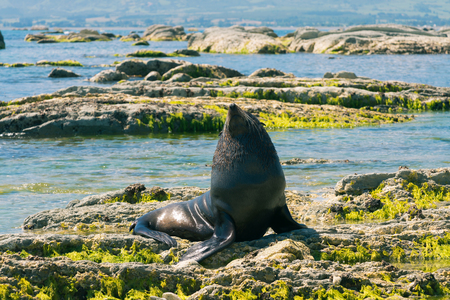Cute Grey Seal on stone beach, New Zealand natural background
