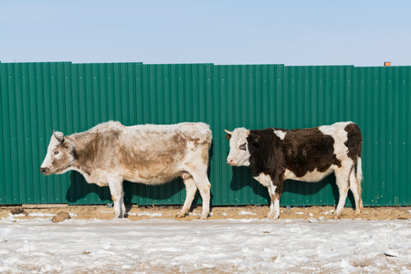 Cow stand over snow with green metal wall background