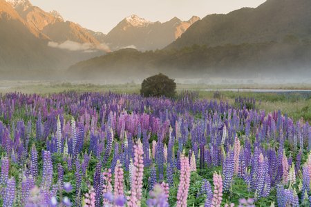 Lupine purple flower with mountain background during morning, New Zealand natural landscape Stockfoto