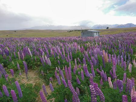 Lupine flower field over high hill New Zealand natural landscape background