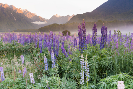 Beautiful purple lupine flower in summer season New Zealand natural landscape