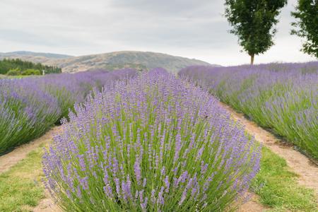 Full bloom purple lavender field, natural landscape background Stock Photo