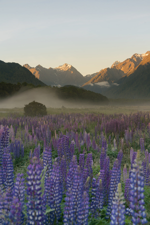 Lupine full bloom flower with mountain background, New Zealand natural landscape background