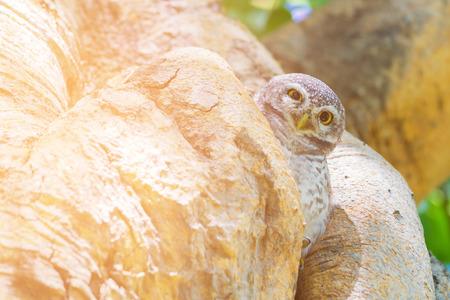 Baby little Owe on tree hole, natural wildlife animal