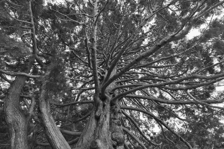 Black and White, Under giant oak tree close up, natural background Stock Photo