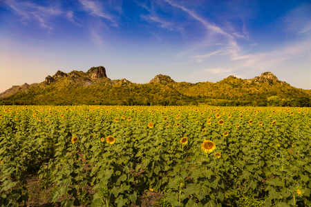 Big sunflower field with mountain skyline, natural landscape background