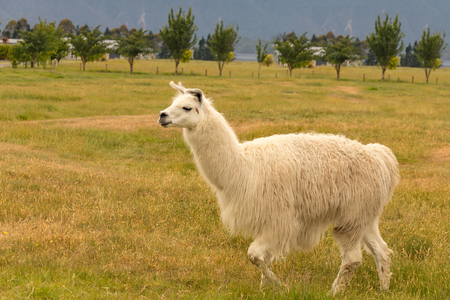 Baby white alpaca slow walk over dry green glass, farm animal