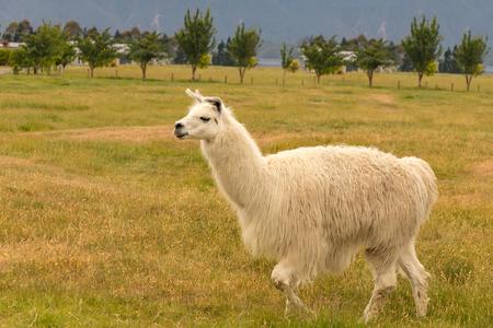 Baby white alpaca slow walk over dry green glass, farm animal
