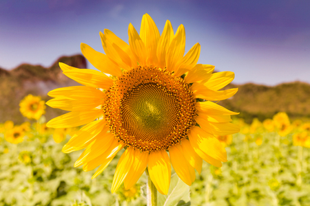 Close up full bloom sunflower against blue sky background Stockfoto - 116131822